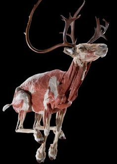 "Many animals have been frozen in motion, allowing people to see just how their bodies work. Exhibition curator, Dr Angelina Whalley, from the Institute for Plastination, says she hopes that people will leave the exhibition with a new ""respect for nature and for science"". #gunthervonhagens #bodyworlds #plastination"