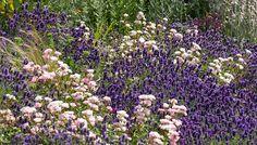 lavender-hidcote-rosa-the-fairy | arun landscapes