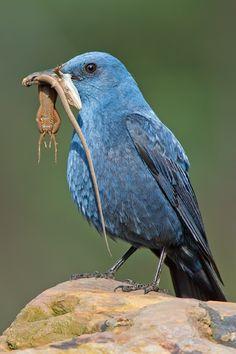 http://www.birdsineurope.com/web/sites/default/files/imagecache/800/melroazulmac.jpg