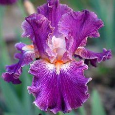 TB Iris 'Fancy Woman'