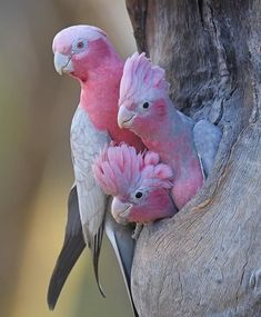 Bird Birds : Pink Parrots peeping out from a tree. Source by ilovehuskyed animals animals beautiful Bird Birds ilovehuskyed Parrots peeping Pink Source tree Cute Birds, Pretty Birds, Beautiful Birds, Animals Beautiful, Funny Birds, Beautiful Pictures, Beautiful Family, Cute Baby Animals, Animals And Pets