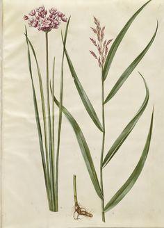 "Hans Simon Holtzbecker (1610-20 - 1971), ""Butomus umbellatus; Phragmitis australis"", 1649-1659, KKSgb2950/91"