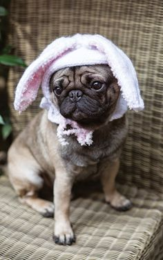 outrageously adorable dog knits knitting pet costumes pets dogs puppies outfits halloween project craft crafty pugs easter bonnet rabbit ears