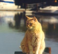 FIV in Cats Photo of Red Cat Shannon in Front of a Water Bay - photo © Franny Syury