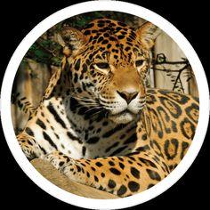 Seznamte se, tohle je náš adoptivní jaguár Inti. Má rád králičí, skopové a hovězí maso a žije v ZOO Olomouc. :-) https://www.shopnero.cz