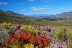 fynbos (indigenous wild flowers and scrub) found in the Western Cape of South Africa. South Africa Holidays, Africa Destinations, Bloom Where You Are Planted, Mediterranean Garden, Out Of Africa, Beaches In The World, World Heritage Sites, Live, Trees To Plant