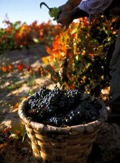 Harvest And Earth gives its Best Fruits to Mankind. Wine's on its Way Wine Tasting Near Me, Grapes And Cheese, Wine Coolers Drinks, Sangria Wine, Photo Deco, Wine Vineyards, Spanish Wine, Wine Baskets, Appetizers