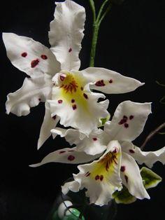 Orchidea odontoglossum di Myriam Cofano