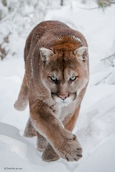 prettylittlegirlygirl:  beautiful-wildlife:  Cougar by Dave Van de Laar  #selfpoitrait