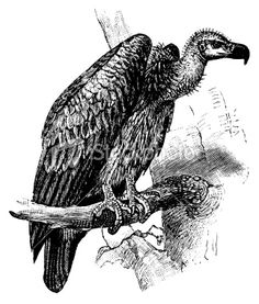 Vulture   Antique Animal Illustrations Royalty Free Stock Vector Art Illustration