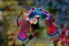 Is a marine fish of the Callionymidae family. It is very popular in saltwater aquariums. The Mandarin fish is native to the Pacific, inhabiting tropical waters from the Ryukyu Islands to southern Australia Colorful Animals, Colorful Fish, Tropical Fish, Cute Animals, Funny Animals, Underwater Creatures, Underwater Life, Ocean Creatures, Poisson Mandarin