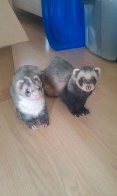 Stoffer & Blik. Beautiful Ferrets!!!
