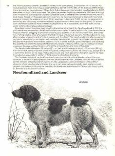 Newfoundland Landseer Dog Print - 1976 Cozzaglio  | eBay