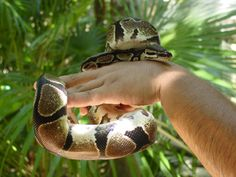 Crococun #Zoo info The skin of a snake is covered in scales and soft to the touch.