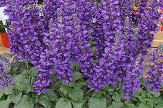 Salvia- Proven Winners (Birds & Blooms)