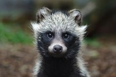 Young Raccoon Dog