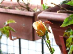 Rosa Naranja - Orange Rose