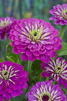 Zinnia 'Purple Prince' http://www.chilternseeds.co.uk/item_1310L_zinnia_purple_prince