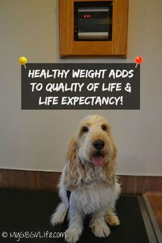 10 Week Turnaround #PerfectWeight Check | My GBGV Life | you can win @hillspet Perfect Weight Food to get your pet in shape! #sponsored Dog Health Tips, Pet Health, Health And Wellness, Petit Basset Griffon Vendeen, Heath Care, Pet Safe, Health And Safety, Beautiful Dogs, Dog Care