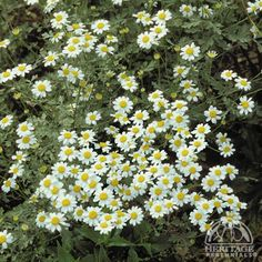Plant Profile for Chamaemelum nobile - Creeping Chamomile Perennial