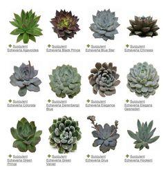 Succulent Echeveria variety guide / http://www.deerpearlflowers.com/wedding-planning-tips-for-wedding-flowers/5/