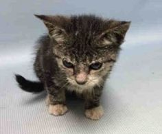 """TOFO - A1085916 - - Brooklyn  ***TO BE DESTROYED 08/30/16*** TOFO IS AN ADORABLE LITTLE KITTEN WHOSE OWNER WAS HOSPITALIZED – NOW THIS TINY KITTEN WILL DIE BECAUSE HE NEEDS SOME EXTRA TLC!!! It seems that TOFO was brought into the shelter with littermates but there is no info on them. The only reason they are killing him is because he may be the """"runt"""" of the litter and is not """"thriving"""" like the others. It seems the ACC is incapable of bottle"""
