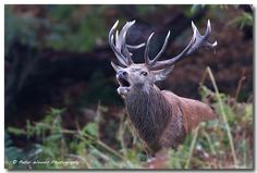 Stag - Peter Woods LRPS