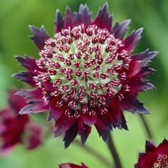 For shade: Astrantia Moulin Rouge  A fashionable garden perennial that is a favourite for the cottage garden border. Unusual red and Cream. Ht. 50-60cm. This amazing clump forming perennial is best when planted in prepared, well dug humus rich soil. Ensure that good drainage exists and plant in full sun, shade or partial shade.