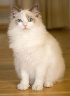 Resultado de imagen para rag doll cat
