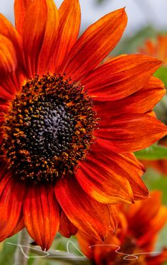 orange and a sunflower GREAT! Happy Flowers, My Flower, Beautiful Flowers, Sun Flowers, Sunflowers And Daisies, Growing Sunflowers, Shrubs, Mother Nature, Bunt