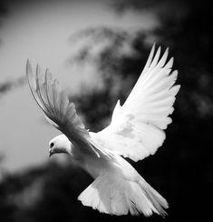 Just like a white winged Dove..... Lyrics by Stevie Nicks