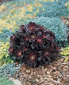 Aeonium arboreum 'Short Black'. Deep near-black rosettes in a compact form.