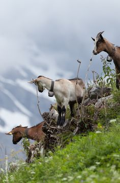 épinglé par ❃❀CM❁✿Hike in the Berner Oberland on Day 8 of the Rick Steves Best of Switzerland Tour Bergen, Best Of Switzerland, Farm Animals, Cute Animals, Alpine Village, Swiss Alps, Swiss Chalet, Voyage Europe, Baby Goats