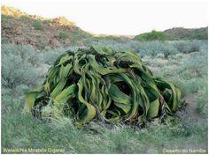 Welwitchia Mirabilis, Namibia Desert