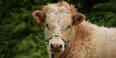 Ascoli: toro scappa dal macello. Finisce in fosso, lo uccidono sparandogli