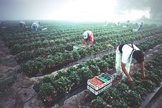 Does Buying Organic Help Farmworkers?   TakePart