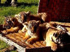 ▶ Tiger Cub Quadruplets! - YouTube