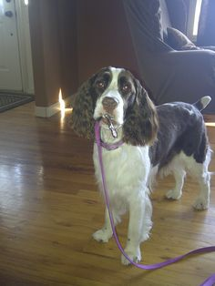 english springer spaniels are the best doggies in the world!