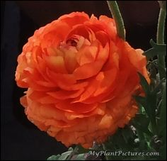 Orange Persian Buttercup Flower. Would make a lovely painting.