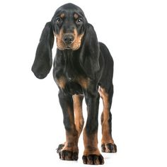 Black and Tan Coonhound. Those dopey eats make them so darn cute!