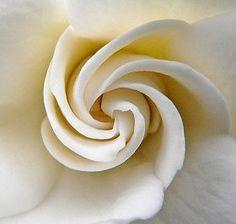 Fibonacci Spiral in an unfurling Rose