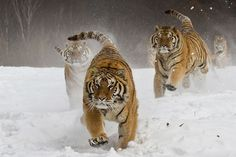 Nature & Wildlife. Siberian tigers at feeding time in China. Photograph: James Chong, Singapore. http://www.annabelchaffer.com/