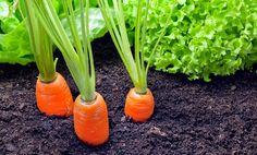 mrkva sprievodné rastliny (2) _mini