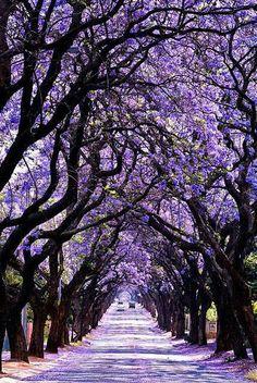 Jacaranda tree tunnel-australia. I had Jacarandas in our CA home. They are such beautiful trees.