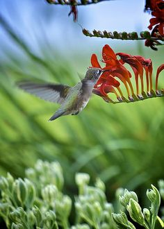 Hummingbird feeding on crocosmia by sankofa2rr on Flickr*