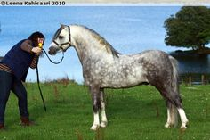 Welsh Mountain Pony (section A) - stallion Islyn Andreas