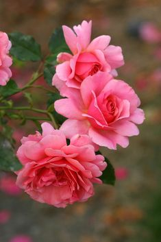 'Duet' | Hybrid Tea Rose. Herbert C. Swim (United States, 1960) | Flickr - © Photo Patty