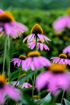 Beautiful cone flowers at The Red Horse Inn.