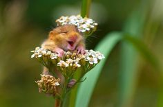 A doormouse found laughing on top of a yarrow flower. Curated by your friends at  https://createamixer.com/
