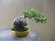 """""""Baby"""" Bonsai 23 -  盆栽:樹勢イマイチ、南国産